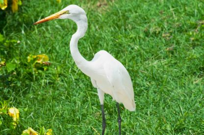 Egret next door