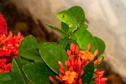 Iguana on Ixora