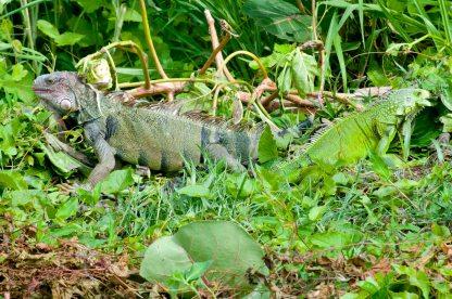 Iguanas Vieques