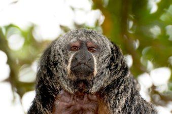 Monkey in Amazon basin